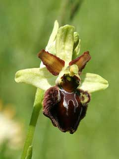 Ophrys sphegodes Early Spider Orchid