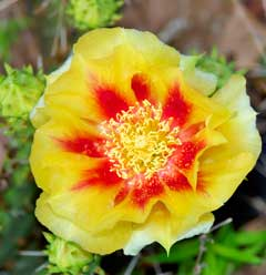 Opuntia macrorhiza Twist-Spine Prickly Pear