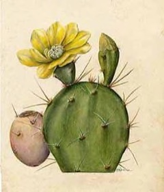 Opuntia dillenii Dillen prickly pear,