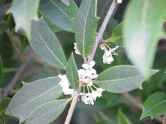 Osmanthus heterophyllus Holly Olive, Holly osmanthus, Chinese Holly, Holly Tea Olive, False  Holly