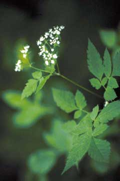 Osmorhiza claytonii Woolly Sweet-Cicely, Clayton