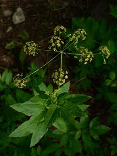 Osmorhiza occidentalis Western Sweet-Cicely, Western sweetroot