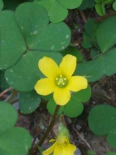 Oxalis corniculata Yellow Sorrel, Creeping woodsorrel