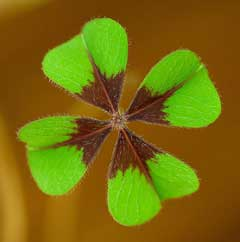 Oxalis deppei Iron Cross Plant