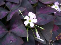 Oxalis triangularis Oxalis