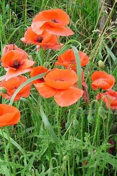Papaver dubium long head poppy blindeyes pfaf plant database papaver dubium long head poppy blindeyes mightylinksfo