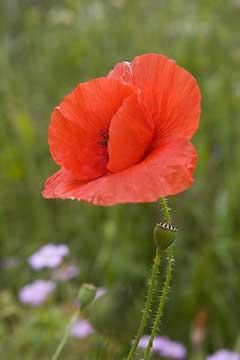Papaver rhoeas Corn Poppy, Field Poppy, Shirley Poppy PFAF Plant ...