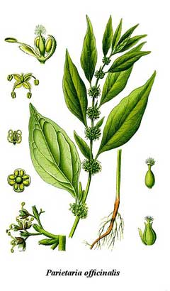 Parietaria officinalis Pellitory Of The Wall, Upright pellitory