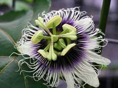 Passiflora edulis Passion Flower, Purple granadilla