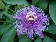 Passiflora incarnata Maypops - Passion Flower, Purple passionflower, Apricot Vine, Maypop, Wild Passion Flower, Purple Pa