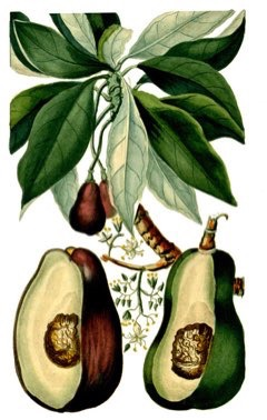 Persea americana Avocado, Alligator Pear