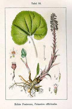 Petasites hybridus Butterbur, Pestilence wort PFAF Plant