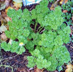 Petroselinum crispum Parsley