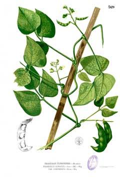 Phaseolus Lunatus Lima Bean Sieva Bean Pfaf Plant Database