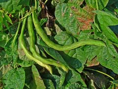 Phaseolus vulgaris French Bean, Kidney bean