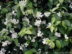 Philadelphus coronarius Mock Orange, Sweet mock orange