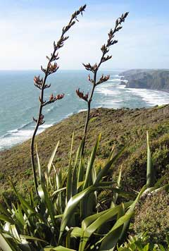 Phormium tenax New Zealand Flax, Coastal Flax, New Zealand Hemp