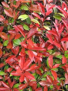 photinia glabra japanese photinia red top red leaf photinia pfaf plant database. Black Bedroom Furniture Sets. Home Design Ideas