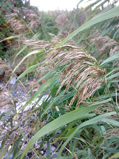 Phragmites australis Common Reed