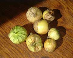 Physalis philadelphica Wild Tomatillo, Mexican groundcherry