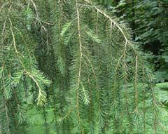 Picea breweriana Weeping Spruce, Brewer spruce