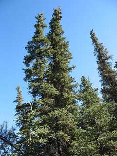 Picea glauca White Spruce, Black Hills Spruce, Canadian Spruce