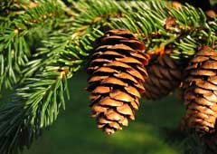 Picea rubens Red Spruce