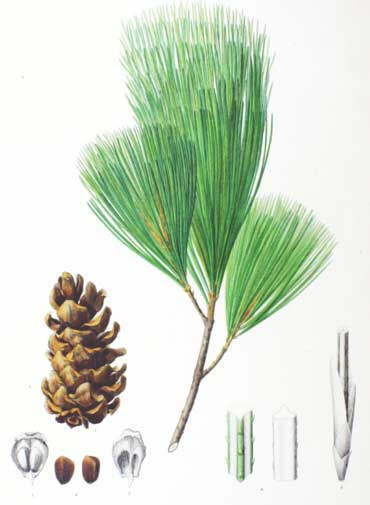Pinus koraiensis Korean Nut Pine, Chinese pinenut