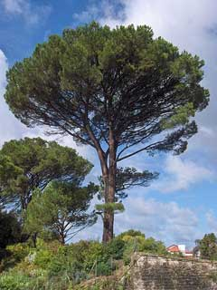 Pinus Pinea Italian Stone Pine Umbrella