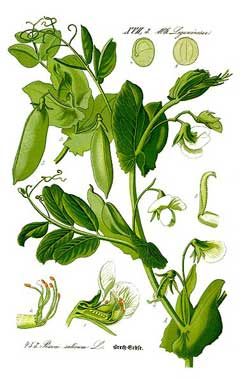 pisum sativum garden pea lis legume information system