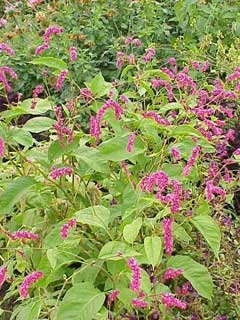 Polygonum Orientale Prince S Feather Kiss Me Over The