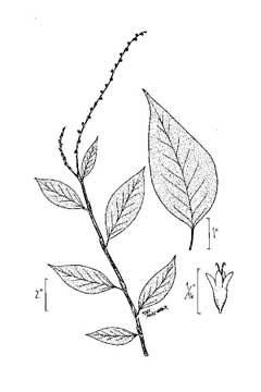Polygonum virginianum jumpseed fleece flower smartweed knotweed polygonum virginianum jumpseed fleece flower smartweed knotweed mightylinksfo