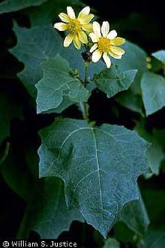 Polymnia Uvedalia Bearsfoot Pfaf Plant Database