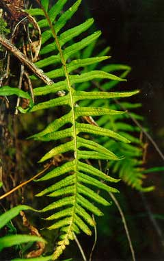 Polypodium glycyrrhiza Licorice Fern