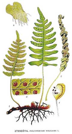 Polypodium vulgare Polypody,  Adders Fern, Golden Maidenhair Fern,  Wall Fern, Common Polypod Fern