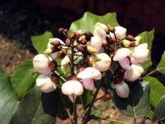 Pongamia pinnata Pongam, Karum Tree, Poonga-Oil Tree, Indian
