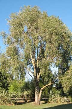 Populus simonii Simon poplar, Chinese Poplar PFAF Plant Database