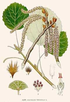 Resultado de imagen para Populus tremula