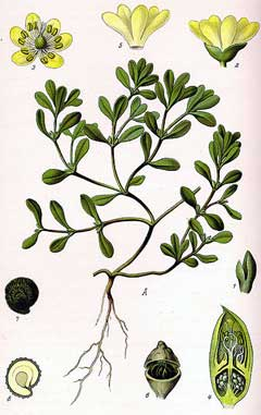 Portulaca oleracea Green Purslane, Little hogweed