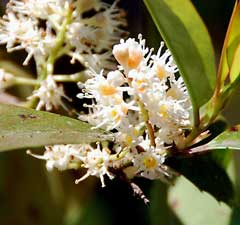 Prunus caroliniana American Cherry Laurel, Carolina laurelcherry, Laurel Cherry,