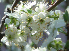 Prunus domestica Plum, European plum