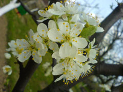 Http commons wikimedia org wiki file prunus domestica subsp