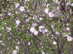Prunus japonica Korean Cherry, Japanese bush cherry