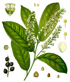 Prunus laurocerasus Cherry Laurel, English Laurel