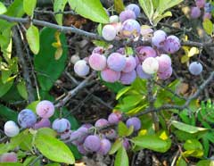 Prunus maritima Beach Plum, Graves