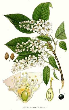 Prunus padus Bird Cherry, European bird cherry