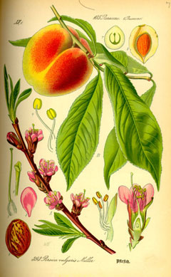 Prunus persica Peach, Flowering Peach,  Ornamental Peach,  Common Peach