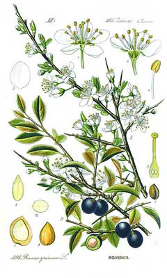 Prunus spinosa Sloe - Blackthorn