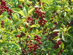Prunus virginiana Chokecherry, Western chokecherry, Black chokecherry