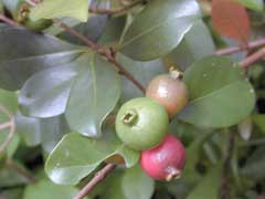 Psidium cattleianum Strawberry Guava